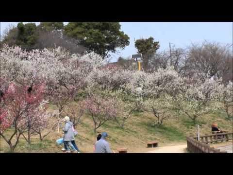佐布里池(そうりいけ)梅林(愛知) | 2019年梅まつり・見頃情報