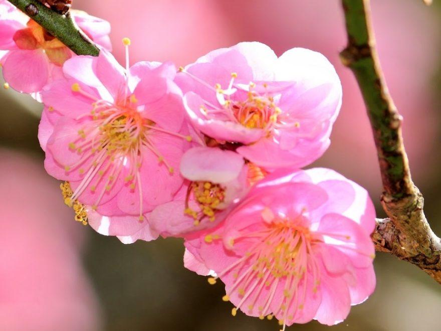 成田山公園(千葉) | 2019年梅まつり・見頃情報
