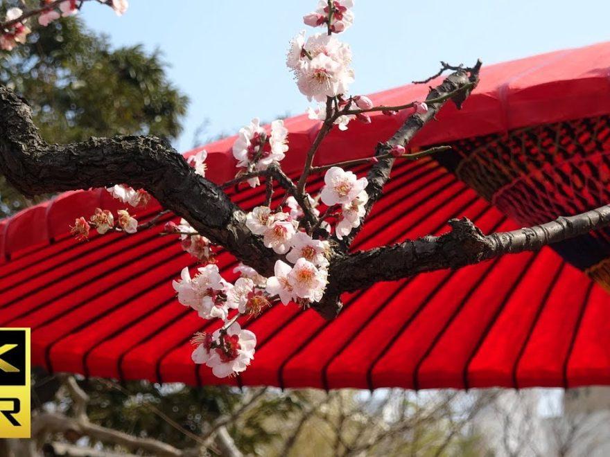 向島百花園(東京) | 2019年梅まつり・見頃情報