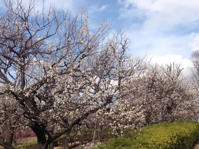羽根木公園(東京) | 2020年梅まつり・見頃情報