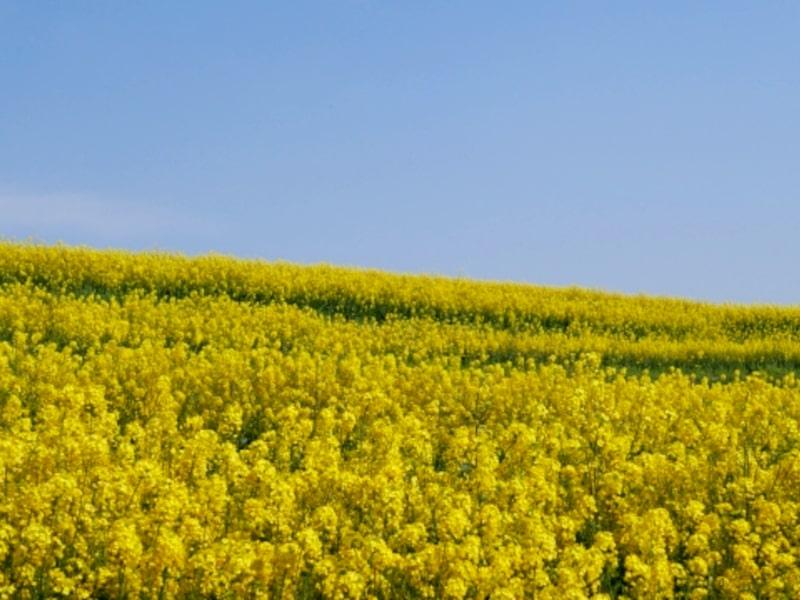 長崎鼻・菜の花