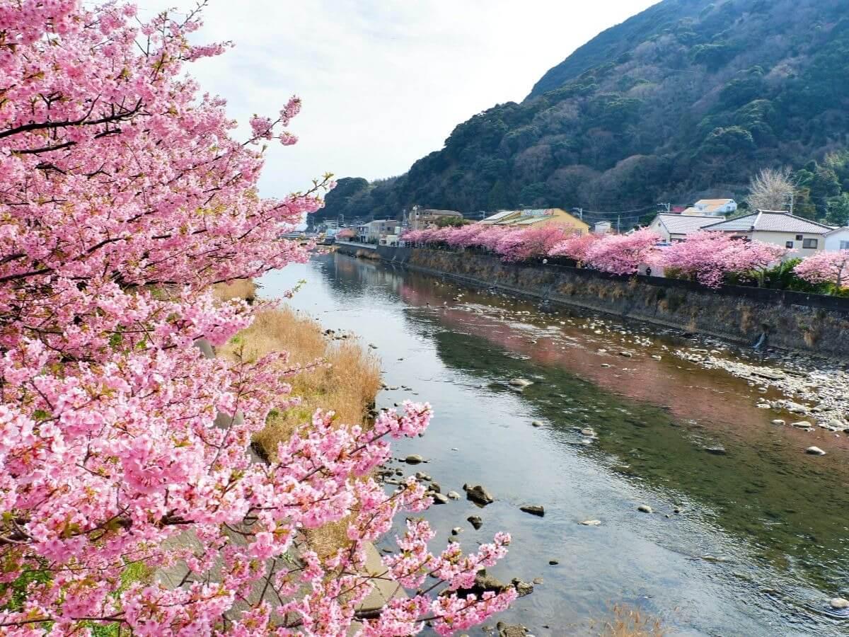 時期 河津 桜