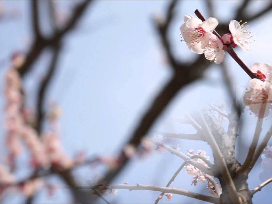 嘉麻市 梅林公園(福岡) | 2019年梅まつり・見頃情報