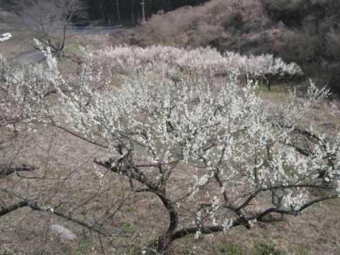 人吉梅園(熊本) | 2019年梅まつり・見頃情報