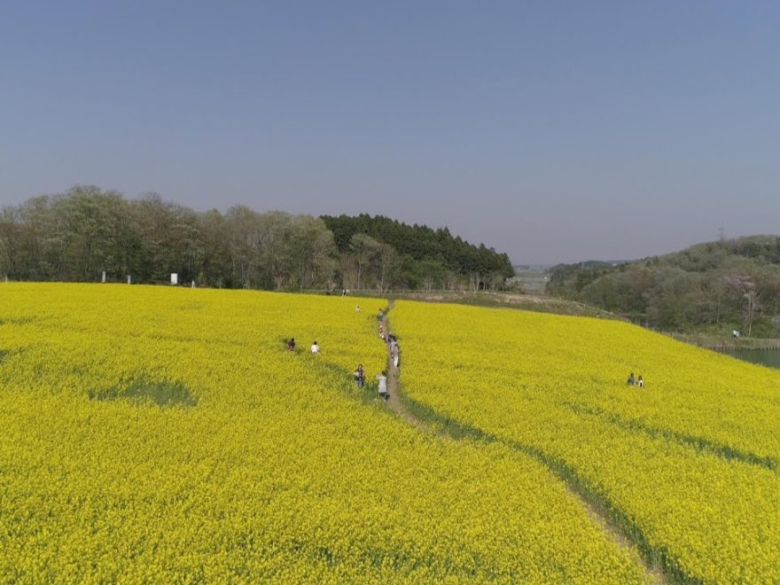 大崎市三本木・ひまわりの丘(宮城) | 2019年菜の花まつり・見頃情報