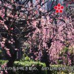 亀戸天神社(東京) | 2020年梅まつり・見頃情報