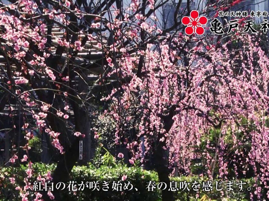 亀戸天神社(東京) | 2019年梅まつり・見頃情報