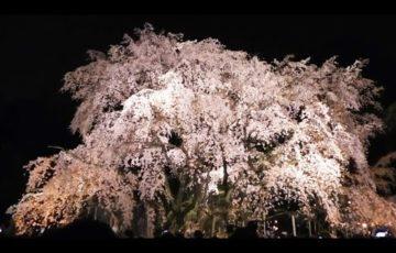 六義園(東京) | 2019年夜桜ライトアップ・見頃情報