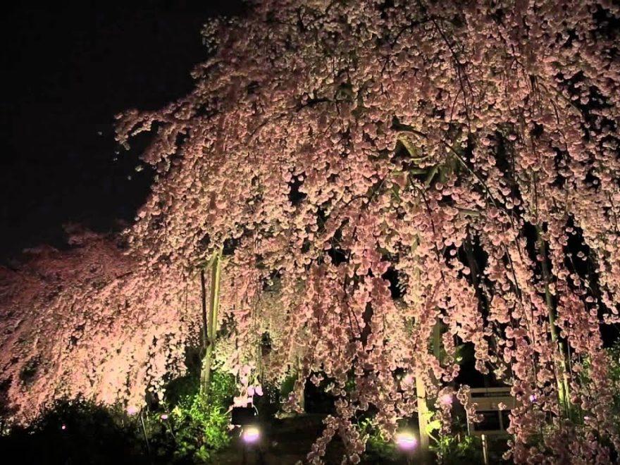 宇治市植物公園(京都) | 2019年夜桜ライトアップ・見頃情報