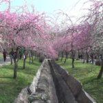 いなべ市農業公園内 梅林公園(三重) | 2020年梅まつり・見頃情報
