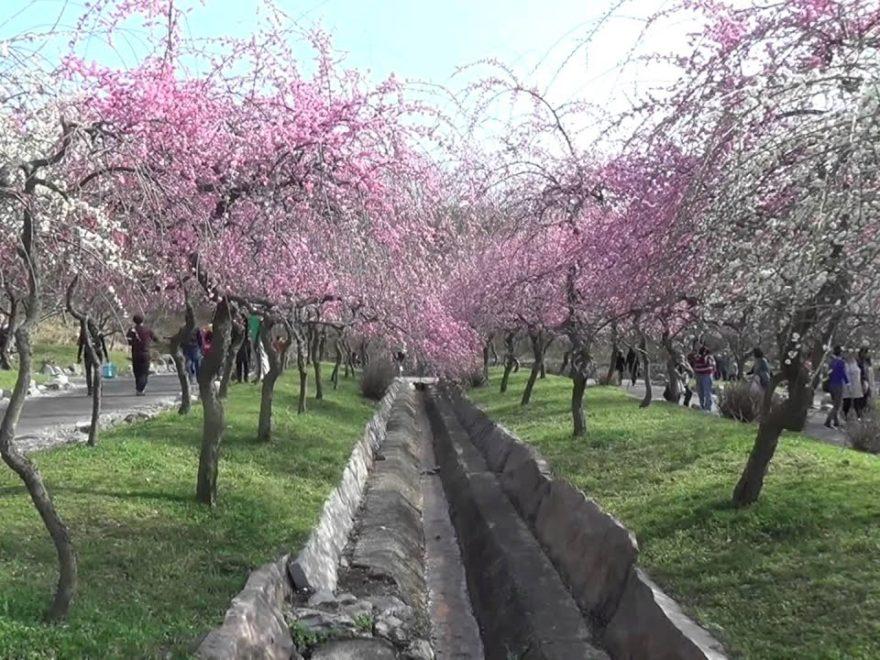 いなべ市農業公園内 梅林公園(三重) | 2019年梅まつり・見頃情報