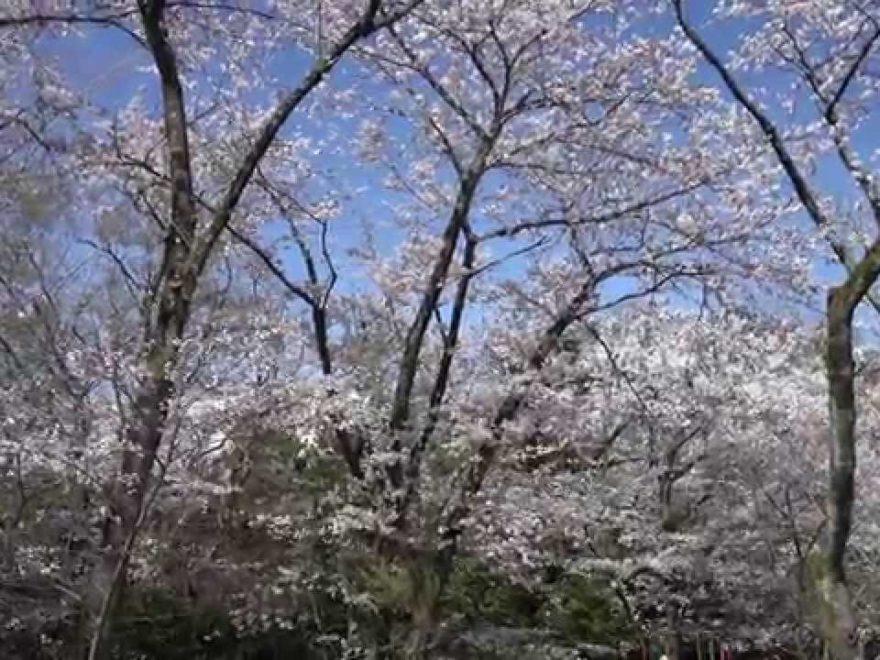 飯山白山森林公園(神奈川) | 2019年夜桜ライトアップ・見頃情報