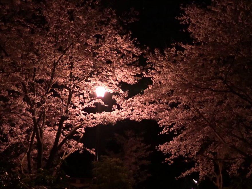 清水公園(千葉) | 2019年夜桜ライトアップ・見頃情報