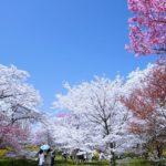 【中止】京都府立植物園(京都) | 2021年桜祭り・夜桜ライトアップ・見頃情報