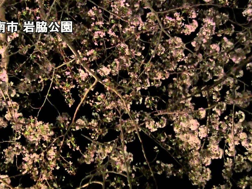 岩脇公園(徳島) | 2019年夜桜ライトアップ・見頃情報