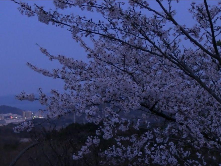 衣笠山公園(神奈川) | 2019年夜桜ライトアップ・見頃情報