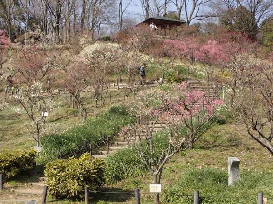錦織公園(大阪) | 2019年梅まつり・見頃情報