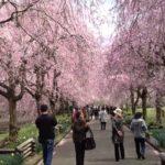 【中止】京都府緑化センター(夜久野高原)のしだれ桜(京都) | 2021年桜祭り・夜桜ライトアップ・見頃情報