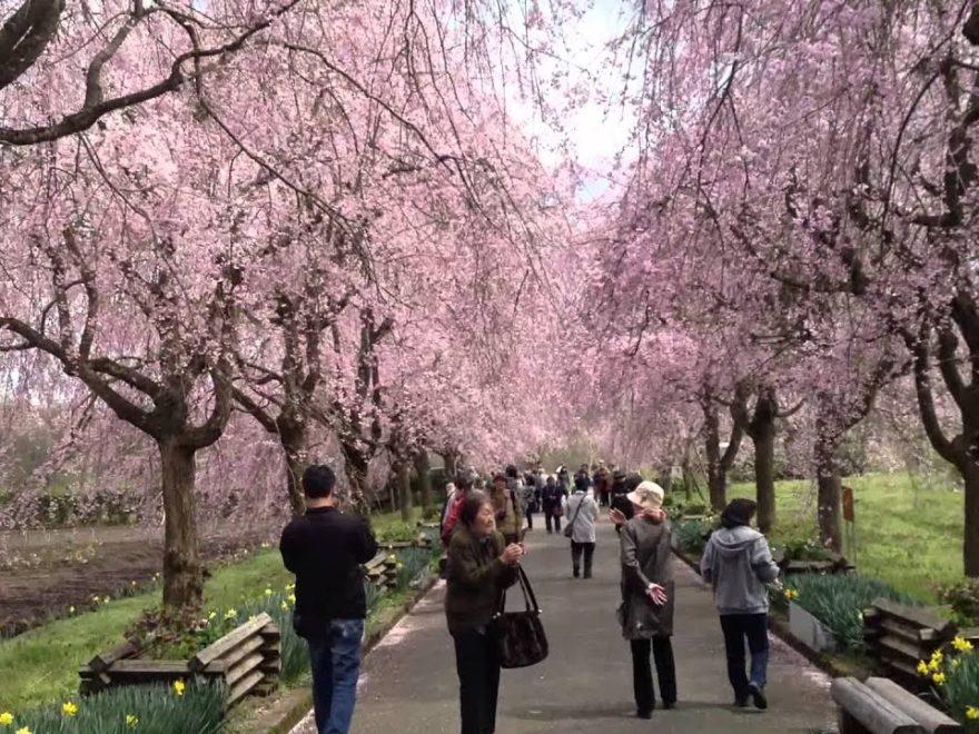 京都府緑化センターのしだれ桜(京都) | 2019年夜桜ライトアップ・見頃情報