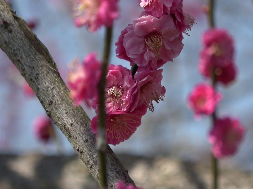 御津自然観察公園(世界の梅公園)(兵庫) | 2019年梅まつり・見頃情報