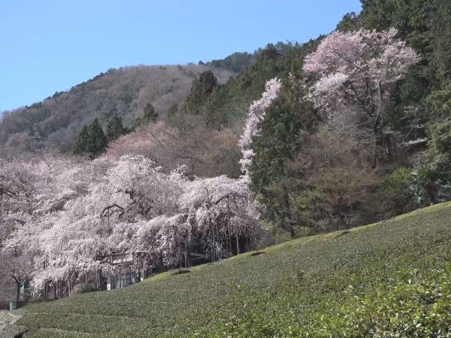 霞間ヶ渓(かまがたに)(岐阜) | 2019年夜桜ライトアップ・見頃情報