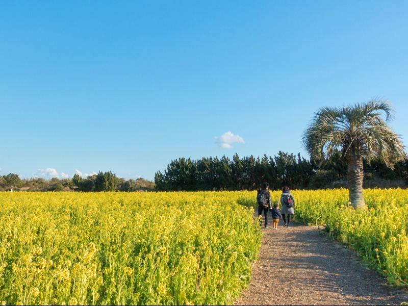 伊良湖岬_菜の花