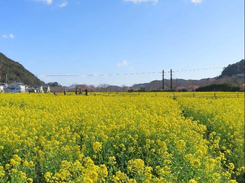 南伊豆町_菜の花
