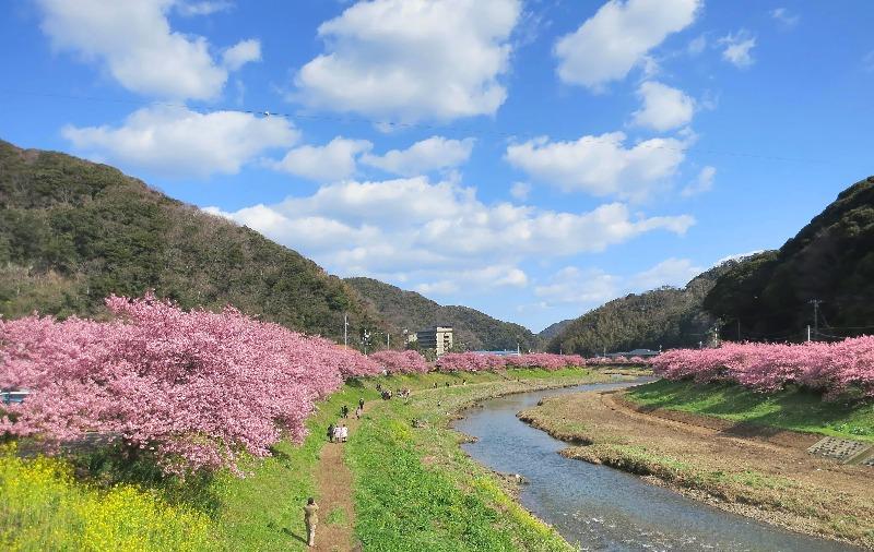 河津桜(南伊豆河津川)