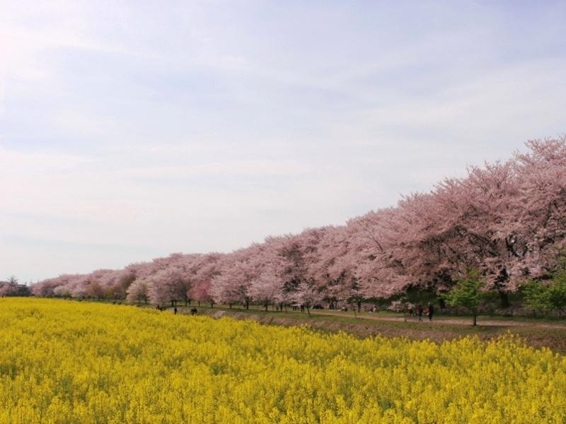 県営権現堂公園(幸手)の桜と菜の花画像