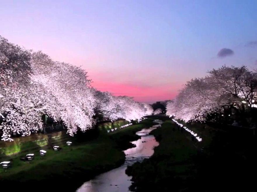 調布市 野川(東京) | 2018年夜桜ライトアップ・見頃情報