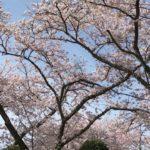 宝満宮 竈門神社(かまどじんじゃ)(福岡) | 2020年桜祭り・夜桜ライトアップ・見頃情報