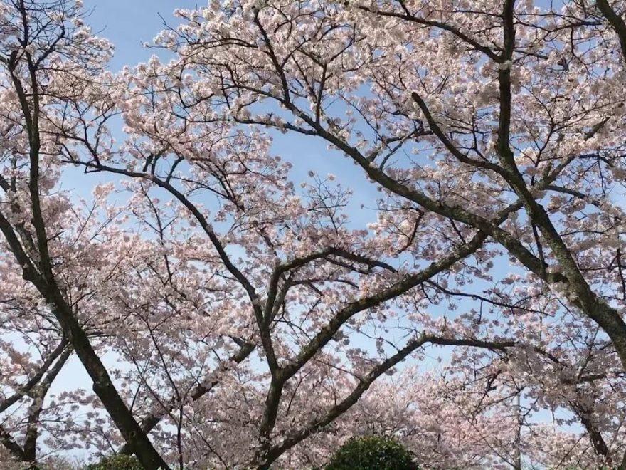 宝満宮 竈門神社(福岡) | 2019年夜桜ライトアップ・見頃情報