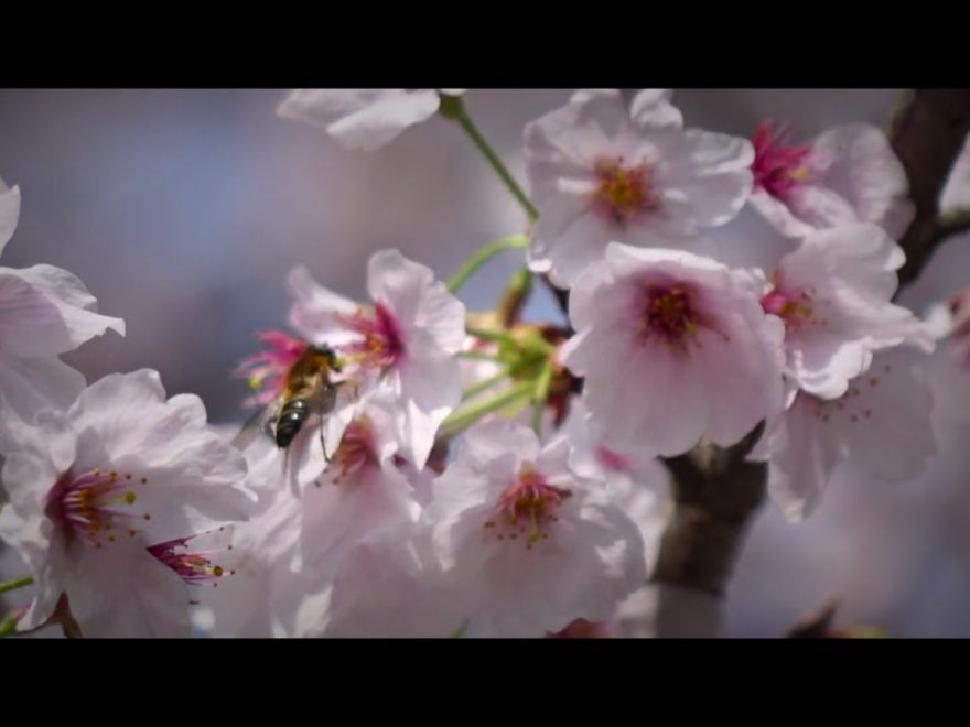 蛇ヶ谷公園(熊本) | 2019年夜桜ライトアップ・見頃情報