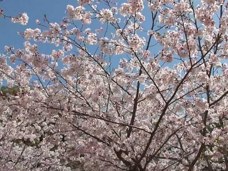 宮崎市 天神山公園(宮崎) | 2019年夜桜ライトアップ・見頃情報