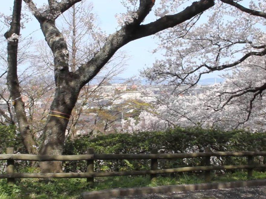 安来公園(やすぎこうえん)(島根) | 2019年夜桜ライトアップ・見頃情報