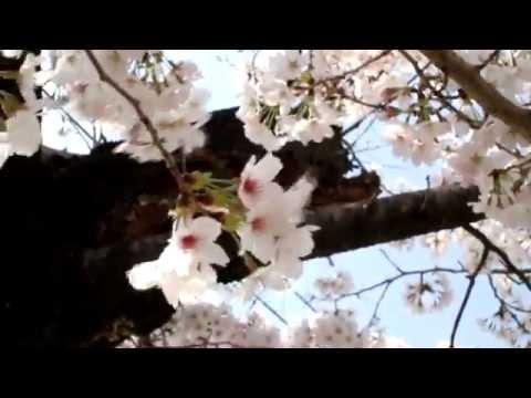八瀬川 桜通り(群馬) | 2019年夜桜ライトアップ・見頃情報