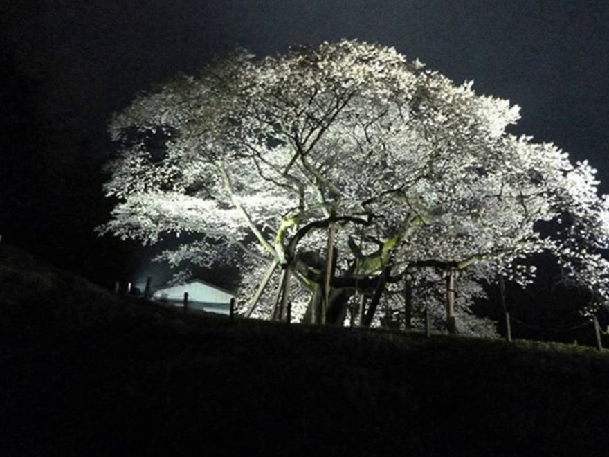 三隅大平桜(島根) | 2019年夜桜ライトアップ・見頃情報
