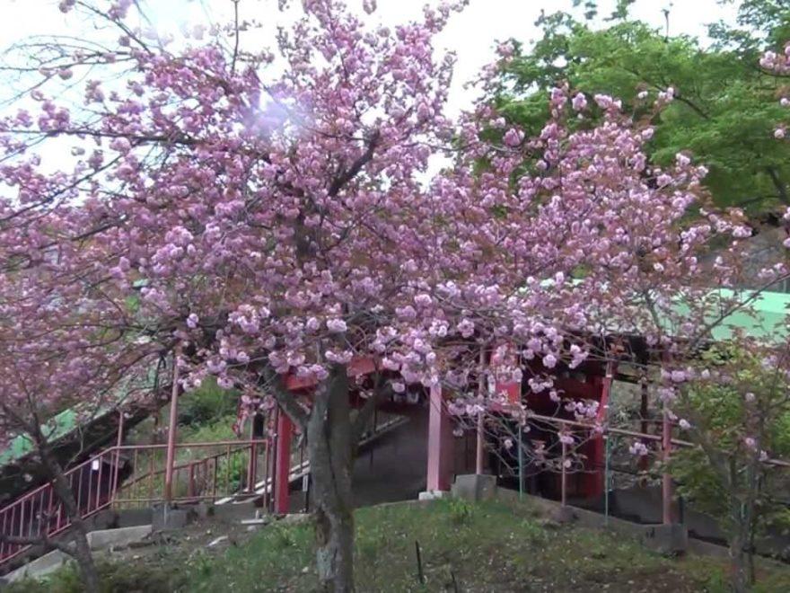 倶利伽羅峠(石川) | 2019年夜桜ライトアップ・見頃情報
