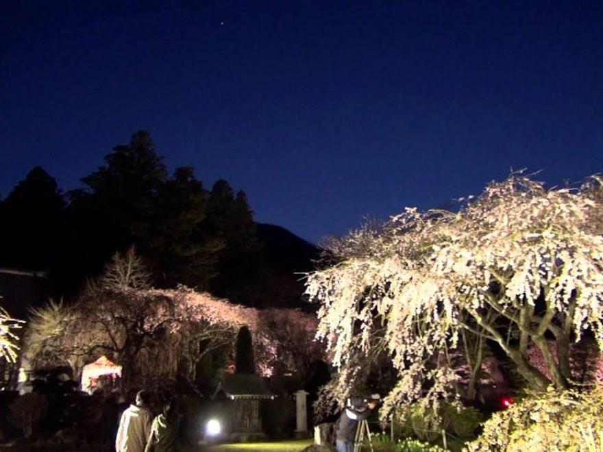 光前寺のしだれ桜(長野) | 2019年夜桜ライトアップ・見頃情報