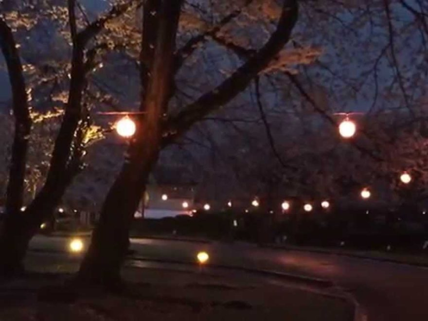 里見公園(千葉) | 2019年夜桜ライトアップ・見頃情報