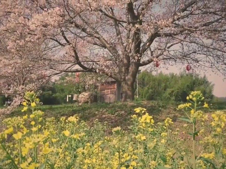 辰ノ口親水公園(茨城) | 2019年夜桜ライトアップ・見頃情報