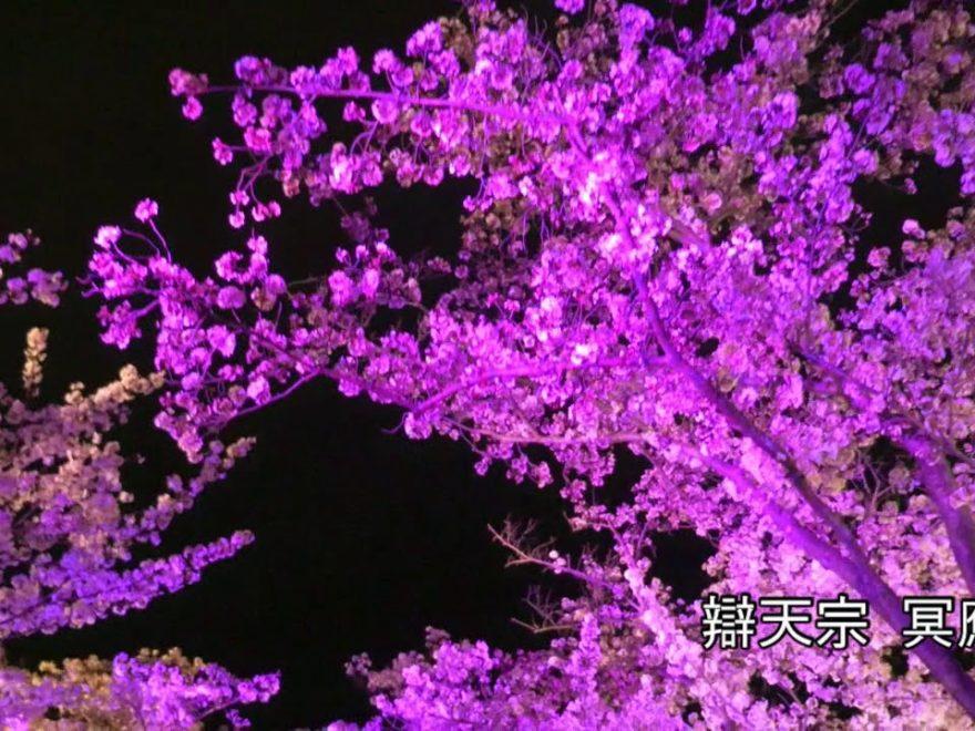辯天宗 冥應寺(大阪) | 2019年夜桜ライトアップ・見頃情報