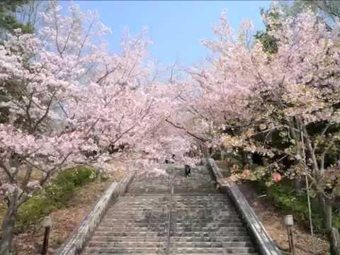 播磨中央公園 桜の園(兵庫) | 2019年夜桜ライトアップ・見頃情報