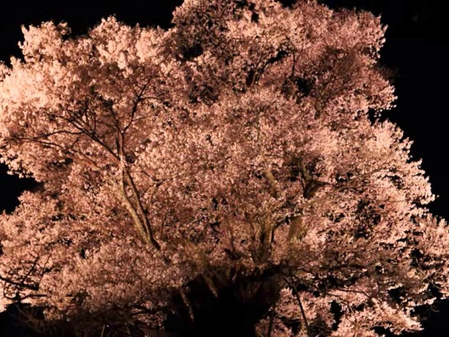 佛隆寺 千年桜(奈良) | 2019年夜桜ライトアップ・見頃情報