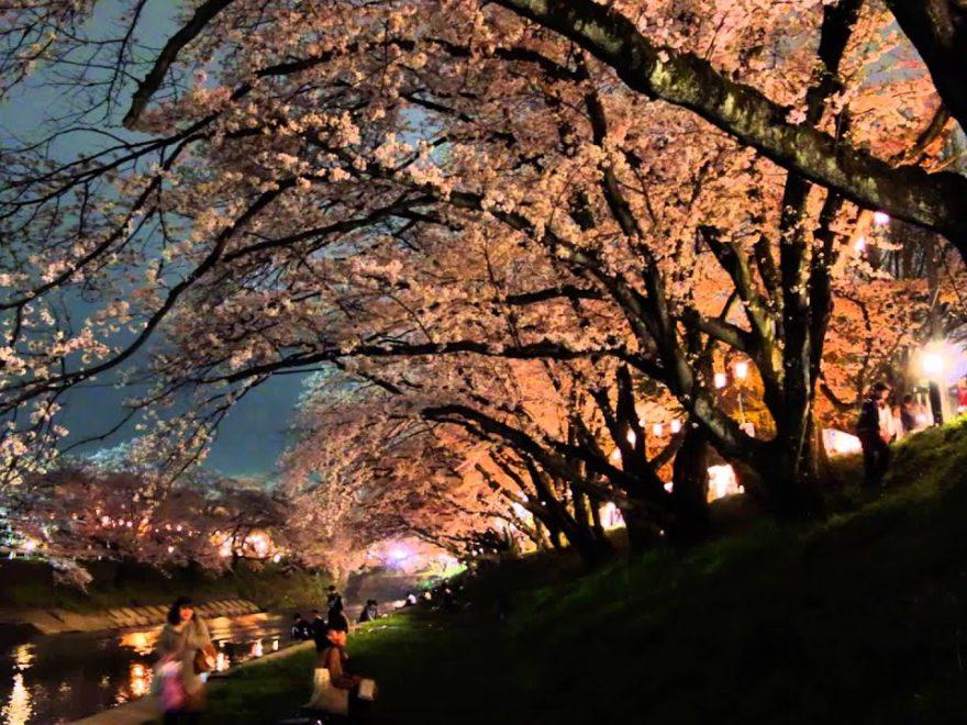 新境川堤の桜並木(岐阜) | 2019年夜桜ライトアップ・見頃情報