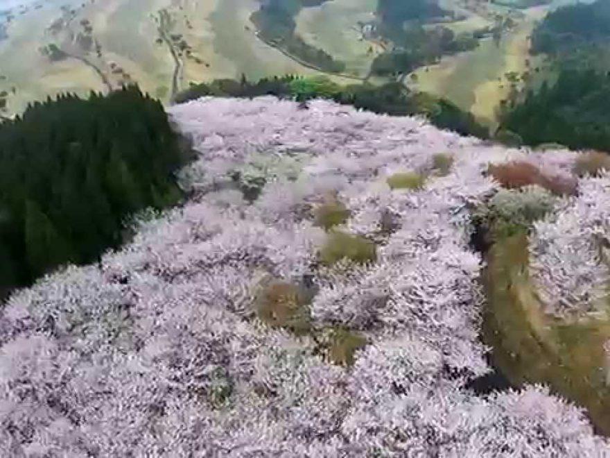 花立公園桜画像