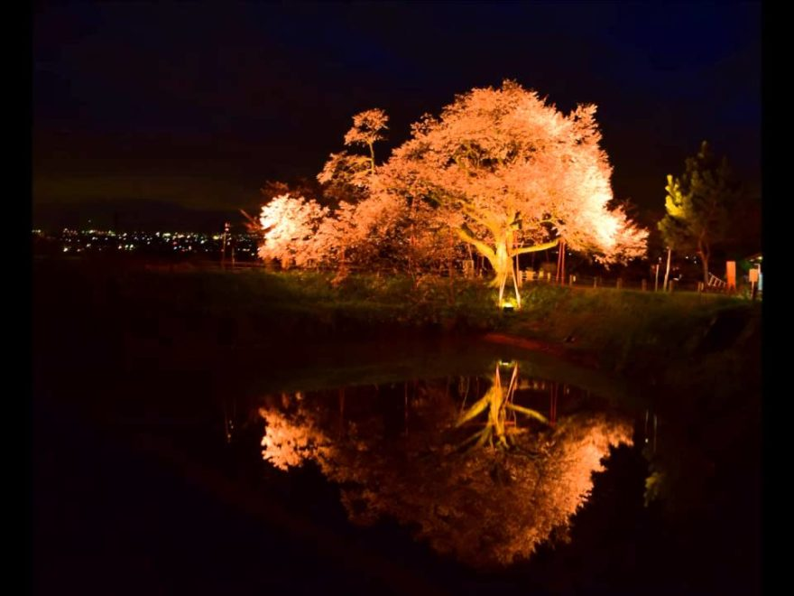浅井の一本桜(福岡) | 2019年夜桜ライトアップ・見頃情報