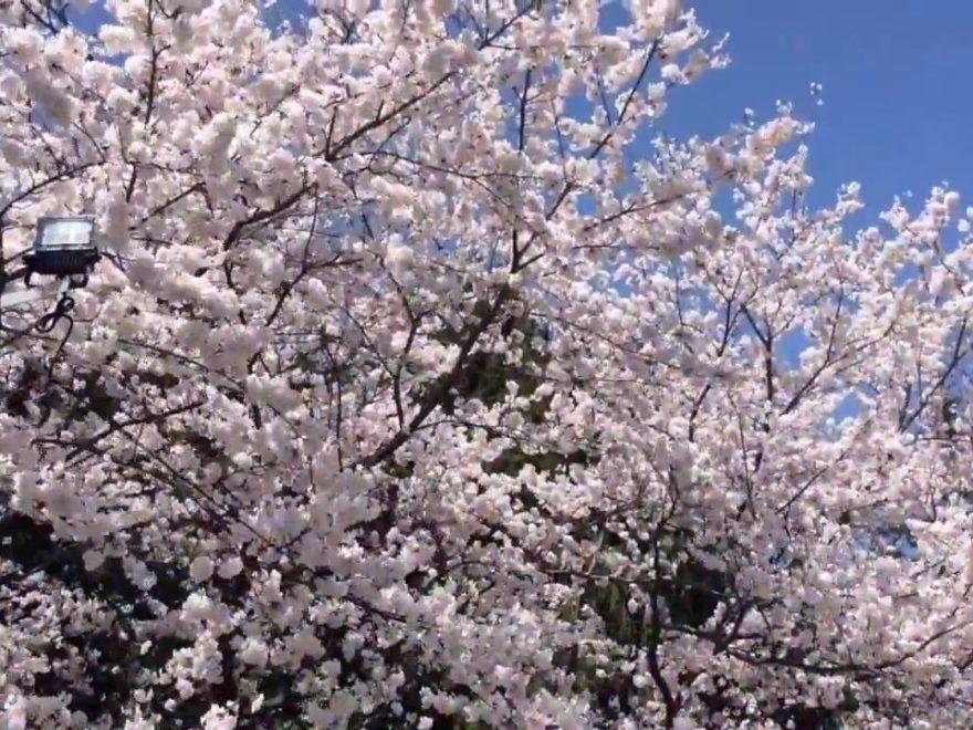 黒石市 東(あずま)公園(青森) | 2019年夜桜ライトアップ・見頃情報