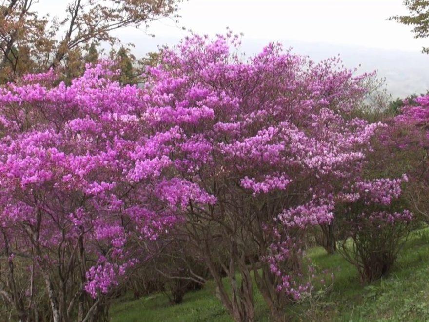 弥高山公園(岡山) | 2019年つつじ祭り・見頃情報