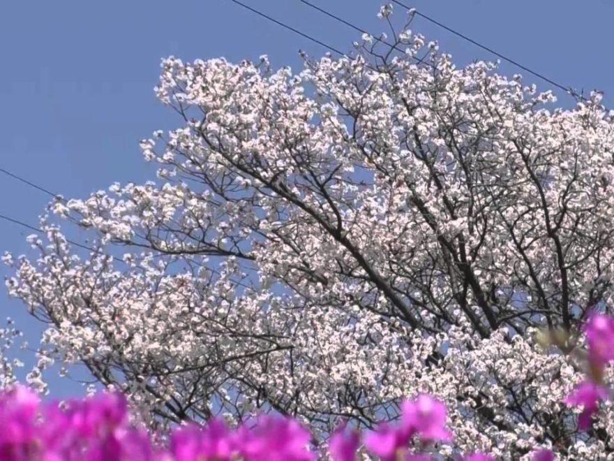 読書天白公園(長野) | 2019年つつじ祭り・見頃情報